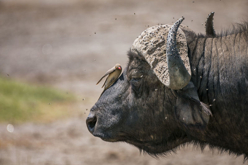 Bird perching on african buffalo