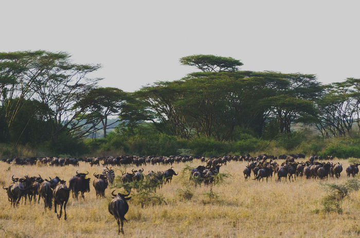 Acacia Tree Animal Themes Beauty In Nature Landscape Large Group Of Animals Nature No People Outdoors Serengeti Tree Wildebeest Wildebeest Migration