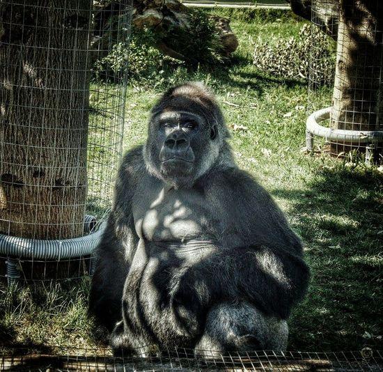 Nature Animal Photography Love Memories Gorilla Big Monkeys Zoo Animals  Happy Time