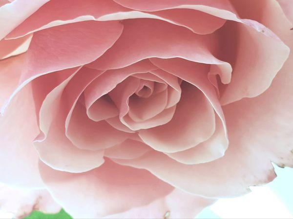 Close up of Pastel Pink Rose Close-up Postcard Flower Nature Pastel Power Pastel Pastel Colored Pink Color Close-up Coral Colored Flower Head Pale Pink Rosé Single Flower Pink Single Rose