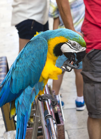 Domestic parrot in Dubrovnik Parrot Bird Vertebrate Animal Wildlife Focus On Foreground Animals In The Wild Real People Perching Animal Animal Themes Dubrovnik Croatia Dubrovnik, Croatia Macaw One Animal Incidental People Gold And Blue Macaw Day Men People Blue Midsection Outdoors