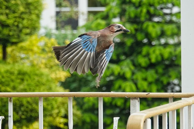 Flying Eichelhäher Vertebrate One Animal Animal Themes Bird Animal Animal Wildlife Animals In The Wild Focus On Foreground Railing Perching Day Full Length No People Nature Boundary Outdoors Barrier Fence Plant