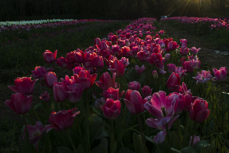 Tulips and