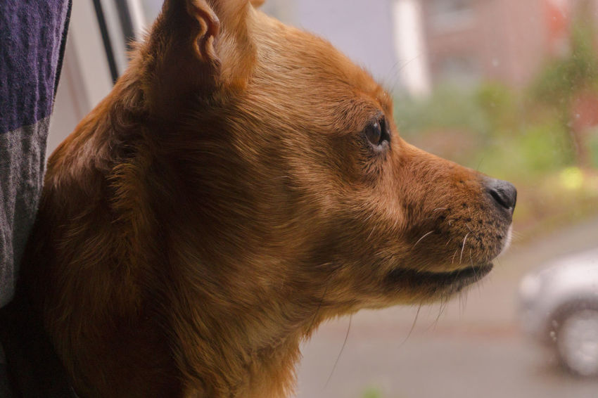 Animal Themes Brown Close-up Day Dog Domestic Animals Focus On Foreground Mammal No People One Animal Outdoors Pets