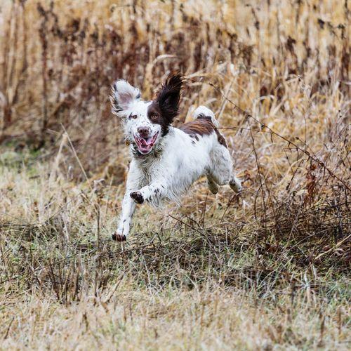 Portrait Of Dog Running On Grassy Field