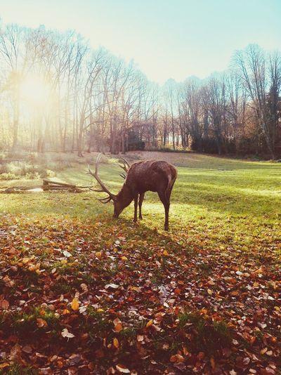 Deer Autumn Fall Park Deers Animal Mammal Animal Themes Plant One Animal Vertebrate Domestic Animals