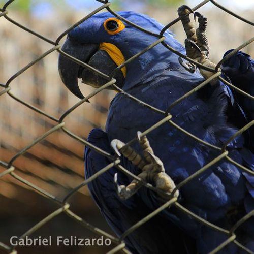 Zoo SP Araraazul T3i 300mmlens