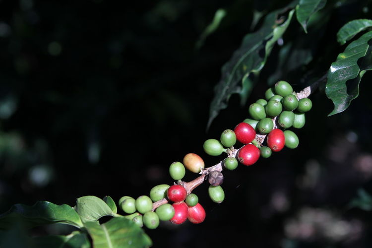 Close-up of coffee fruits growing on plant