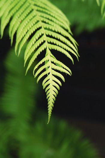 Fern Leaf Frond