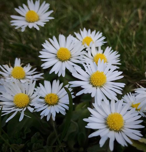 Love me do daisies 💛💚💛 Daisy 🌼 DaisyFlowers Flower Head Beauty In Nature Blooming Petal Spring 2017 Weeds Are Beautiful Too Wild Flower Photography Wild Flower Beauty