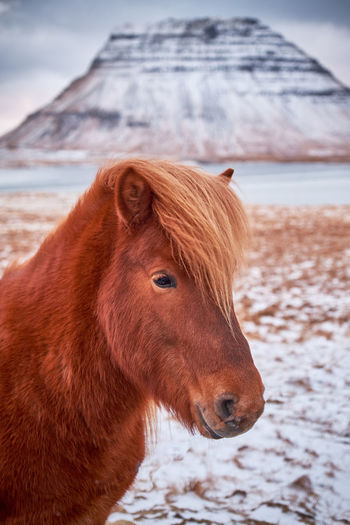 Close-up of an icelandic horse on snow. kirkjufell in background