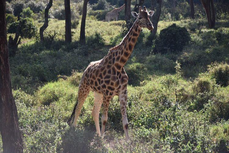 Rothschild Giraffe it's a shame such a beautiful creature is endangered. Kenya Wildlife Endagered Species Girraffe Centre Rothschild's Giraffe Animal Wildlife Animal Plant Animal Themes Giraffe