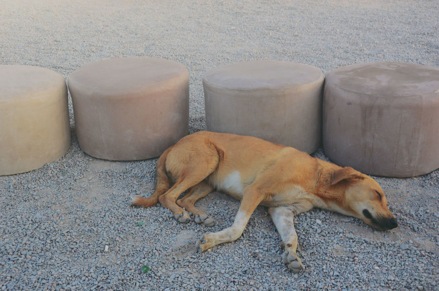 Desert dog tired of hot and loneliness Animal Dog Dog Resting Dog Sleeping  Egypt Nature No Humans Summer
