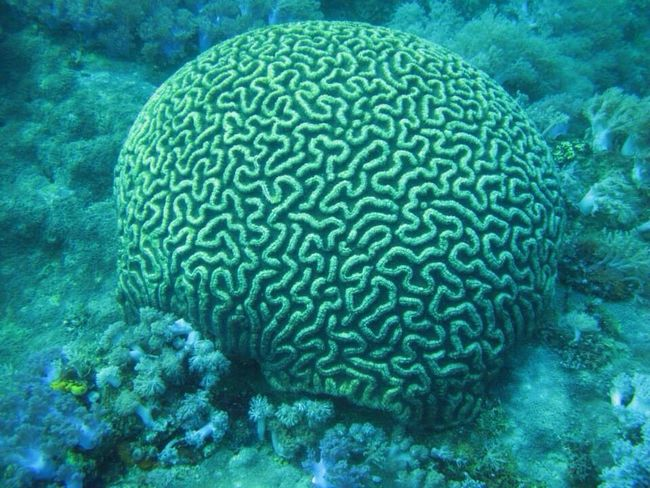 Brain Scuba Diving SCUBA Scubadiving Diving Seacreatures Seacreature Underwaterworld Uwphotography