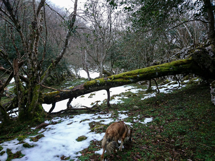 Asturies Asturias Faya Fayeu Hayedo Peñamayor Tree Animal Themes Nature One Animal Domestic Animals Mammal Day Outdoors No People Green Color Snow Winter Beauty In Nature Sky