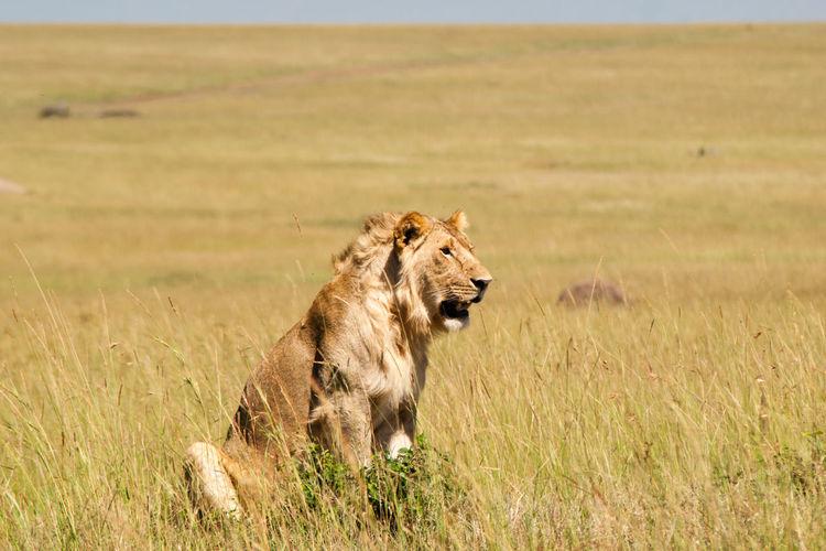 Lion sitting on grassy field at masai mara national reserve