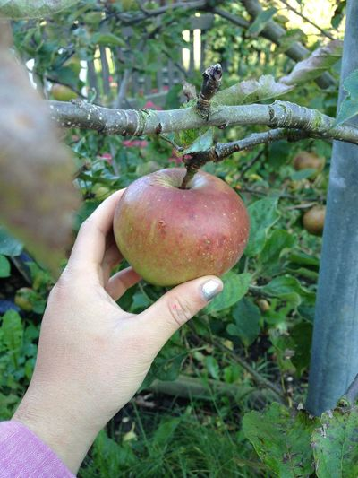 This apple was so yummy 😍😊 Apple Trees Nature Allhamdullilah Picking Apples