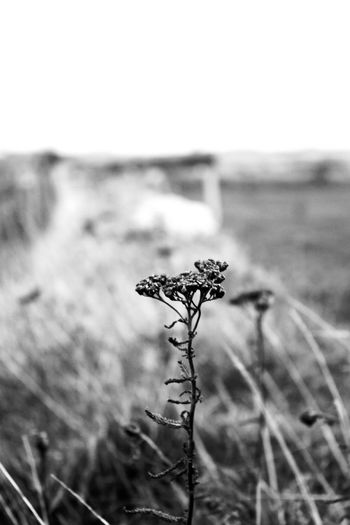 Beauty In Nature Blackandwhite Clear Close-up Day Focus On Foreground Fragility Growth Nature No People Outdoors Plant Sky Tranquility Wilted Plant