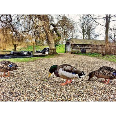 Ducks Crossing Pictapgo IPSContest Love Tweegram instagood photooftheday iphonesia instamood igers instagramhub picoftheday instadaily bestoftheday igdaily instagramers webstagram follow statigram life ducks wings