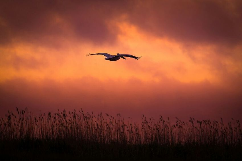 Pelikan Delta Dunarii Sunset Flying Bird Animals In The Wild Nature Silhouette Beauty In Nature Sky Mid-air One Animal Outdoors Spread Wings Scenics Travel Destinations No People Romania Mila 23 Adrian Mitu Silhouette Clouds Scenic