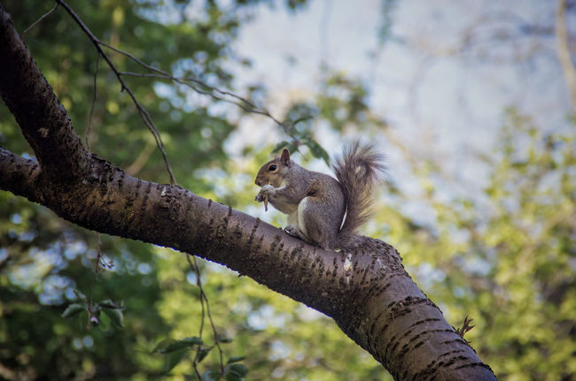 Much as this little guy is cute, I do miss the red squirrels that used to live in Kelvingrove. Day Eating Fluffy Food Glasgow  Grey Squirrel Kelvingrove Park Low Angle View Mammal Nature No People Outdoors Scenics Scotland Scottish Squirrel Tail Tree Tree Trunk Wildlife Nature's Diversities The Great Outdoors - 2016 EyeEm Awards