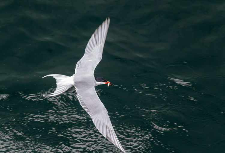 common tern has caught a small fish Flapping Seagull No People Water Bird Nature Day White Color Lake Spread Wings Waterfront Flying Water One Animal Animal Animals In The Wild Vertebrate Animal Wildlife Bird Animal Themes Above View Tern Common Tern Fish Catch Of Fish Food Feeding