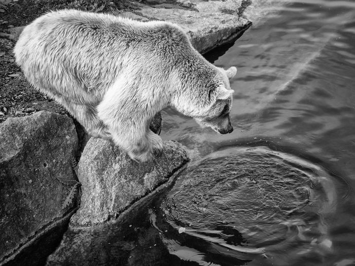 Side View Of A Bear Looking In Water