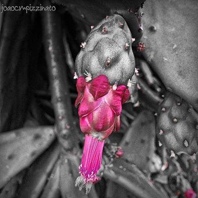 Cactus Flowers Nature Plants Colorsplash_dr Monumentalsplash Splashmood Splashcolors Colorsplash Ig_contrast_bnw Amateurs_bnw Bnwmood Bnw_kings Bnw_planet Bnw_captures Top_bnw Paulistanobw Bnw_lombardia Instapicten Top_bnw_photo