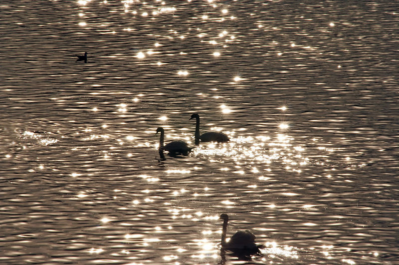 High angle view of silhouette ducks swimming in lake