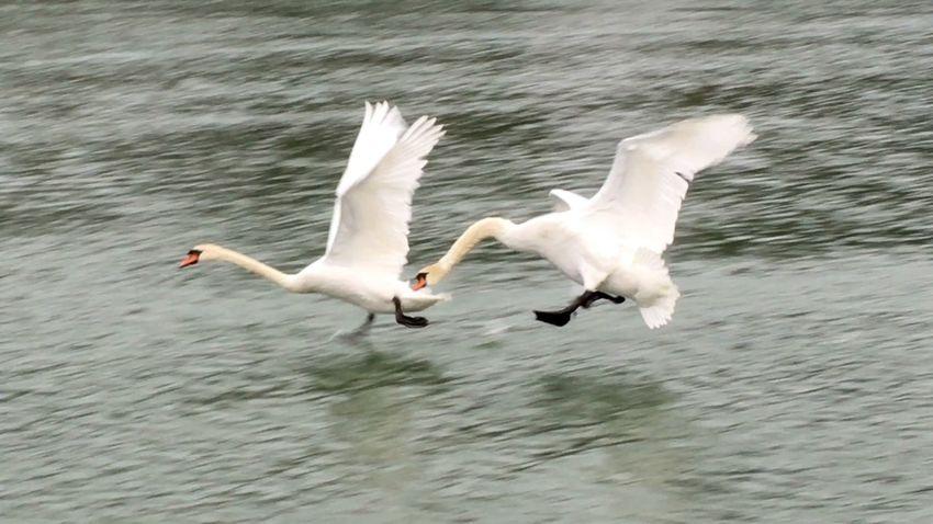 Showcase: February Schwanenfamilie Schwäne Schwan  Swantastic Swans Swan