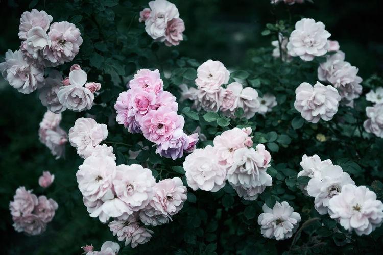 Nikon Pink Pink Rose Plant Nikonphotography Pink Color Pink Flower Pink Flowers Rose - Flower Roses Roses🌹 Westpark