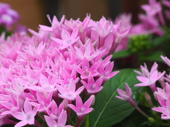Flower Flower Head Pink Color Plant No People Close-up Blooming Outdoors Day Pentas Lanceolata