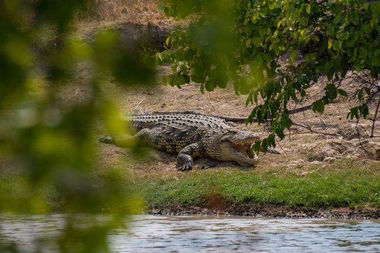 View of a vegetarian crocodile on riverbank