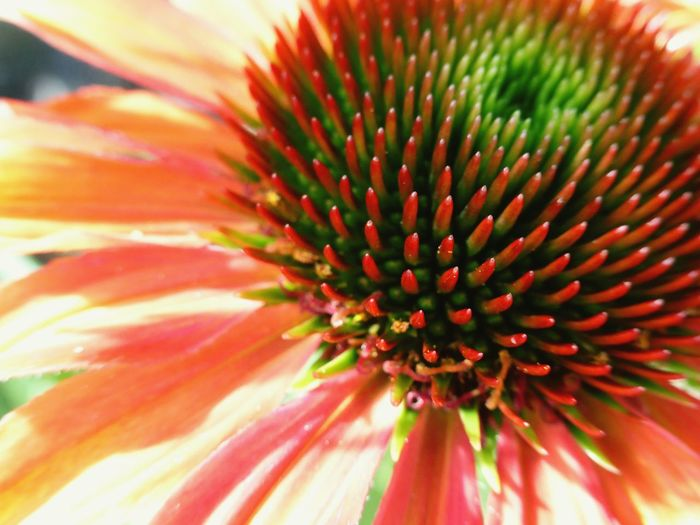 Wow Colour! My Photo Flower Photography Echinacea Coneflower Orange Color RedFlower Greencenter Contrast Natural Pattern Texture In Nature Petal Power Color Palette