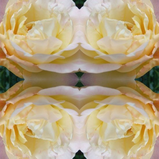 Mirrored rose Symmetry Flower Freshness Close-up Backgrounds EyeEmNewHere Mirror Reflection EyeEm Selects Mirrorimage The Week On EyeEm Breathing Space Patterns In Nature Artofvisuals Nature Summer Flowers Flowers,Plants & Garden Rose🌹 Rose - Flower Pattern Summer! ♥ Freshness Rose Petals Beauty In Nature Multiple Image Garden Flowers