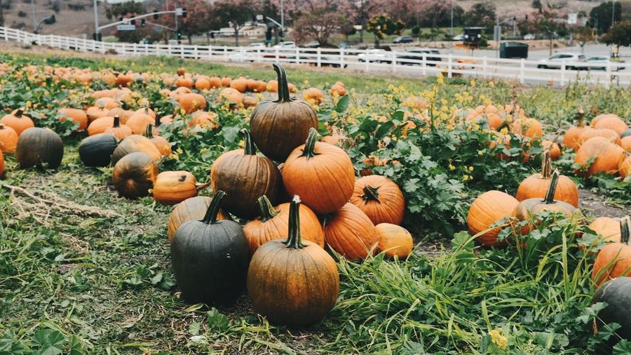 Pumpkins on agricultural field