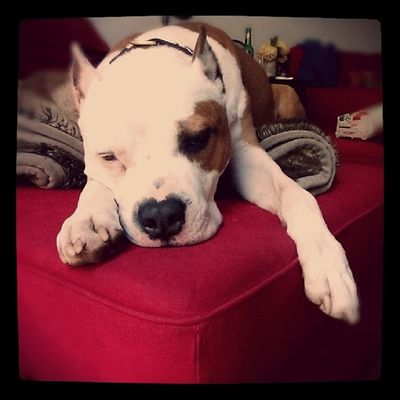 Floydpup says pet sitting and checking in on other dogs from 7am-10am is exhausting work. Pitbull Pitbullsofig Pitbulllove Pitbullsofinstagram Igpits Dontbullymybreed Letsleepingdogslie Mydogisfamily Ilovemydog