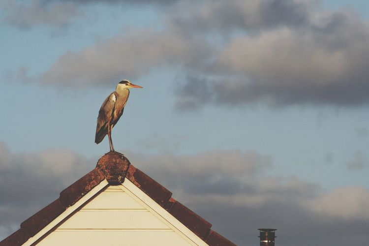 Low Angle View Of Heron On House Roof Against Sky