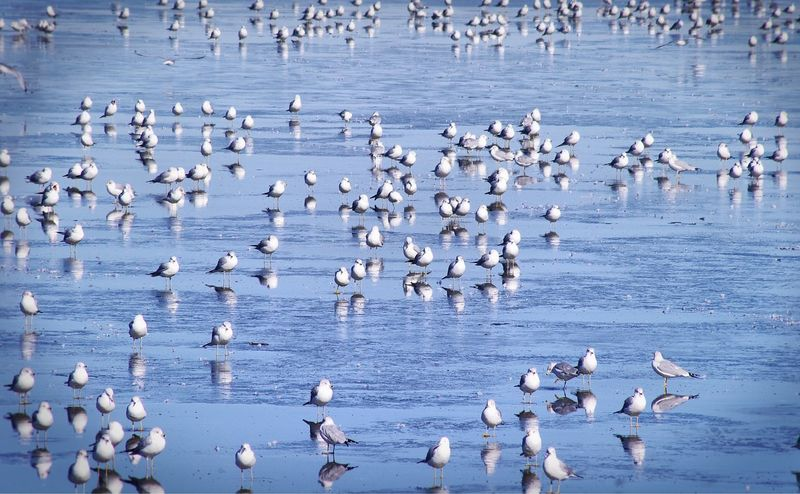 Large group of seagulls standing on frozen lake in January Flock Bird Together Group Large Group Of Animals Animals In The Wild Bird Animal Themes Animal Wildlife Flock Of Birds Nature Colony Wildlife Water No People Beauty In Nature Seagull Lake Outdoors Day