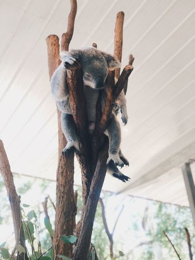 Low angle view of koala sitting on tree