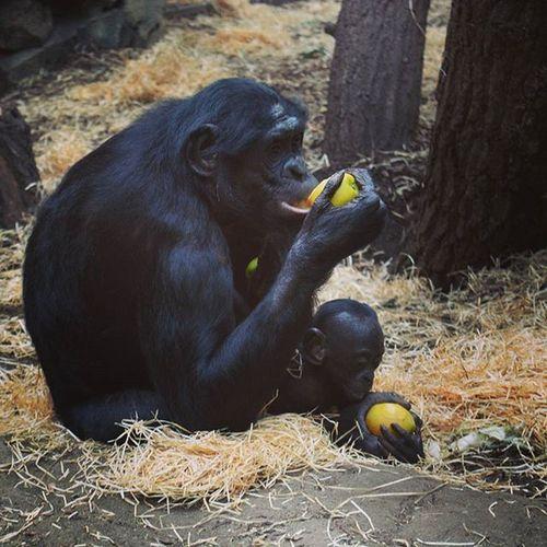 Zoo Frankfurt Affe Affenbaby Essen Februar 2016