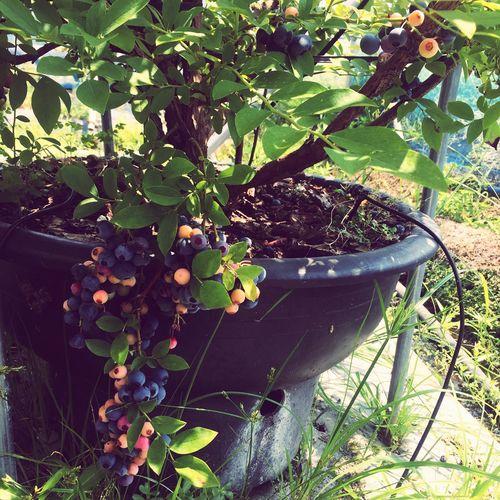 Blueberry Eat More Fruit Yammy!!