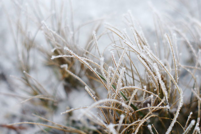 Close-up Day Frost Grass Grass In Snow Nature No People Outdoors Plant Snow Winter Cold Days Cold Winter ❄⛄ Cold Macro
