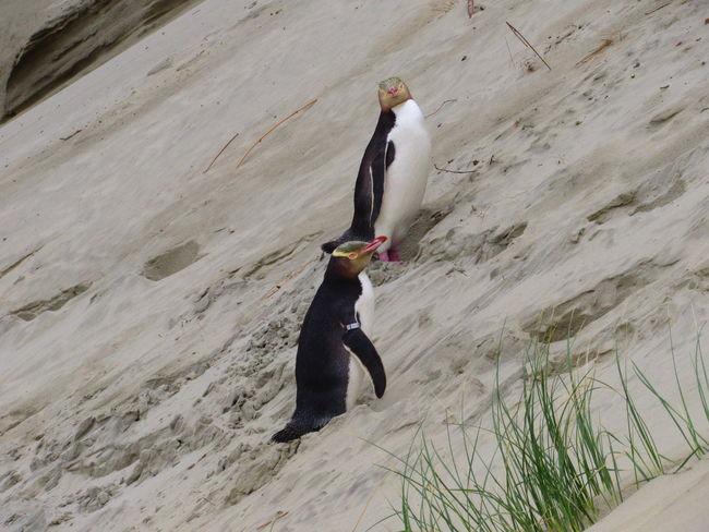 Canon Powershot EyeEmNewHere Travelling Penguins Wildlife Wildlife & Nature Sandfly Bay Otago Peninsula New Zealand Animal In The Wild Nature New Zealand Outdoors Yellow Eye Pinguine One Animal Animal Themes No People