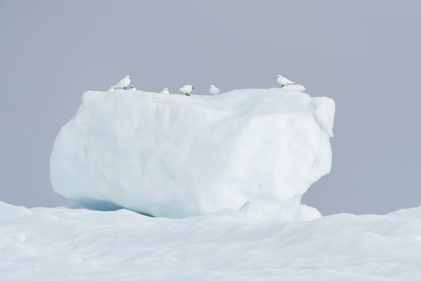 Ivory gulls on top of an iceberg in Viking bay at Scoresby Sund fjord, east coast of Greenland. Bird Photography Graphic Greenland Icebergs Ivory Nature Wildlife & Nature Arctic Bird Birds Cold Cold Temperature Glacier Gull Iceberg Ivory Gull Nature No People Outdoors Seascape Snow White White Color Wildlife Winter