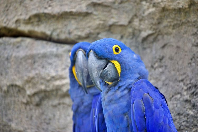 Close-up of blue parrot perching on wall