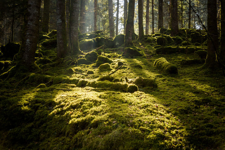Erve Erve Miozzo Photo Miozzo Day Green Color Sunlight Tranquility Beauty In Nature Nature No People Tree Trunk WoodLand Forest Tree Plant Scenics - Nature Non-urban Scene Outdoors Tranquil Scene Land Trunk Moss Growth
