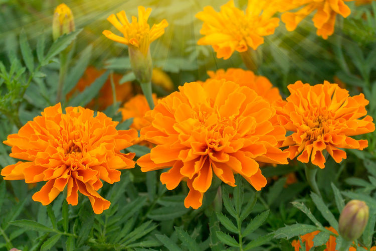 Flowering Plant Flower Freshness Fragility Vulnerability  Petal Beauty In Nature Plant Orange Color Growth Flower Head Inflorescence Close-up Marigold Nature Focus On Foreground Day No People Outdoors Field Flowerbed