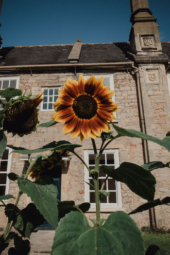 View of sunflower against built structure
