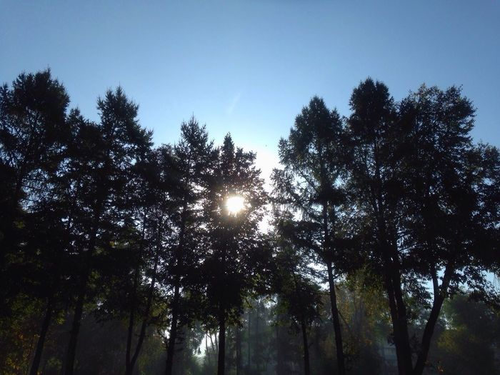Dawn Tree Sun Nature Low Angle View Growth Sunlight Blue Clear Sky Tranquility Outline Siberia City Zapsib Hi! Beauty In Nature Tall - High Tranquil Scene WoodLand Outdoors Sunbeam High Section Scenics Sky